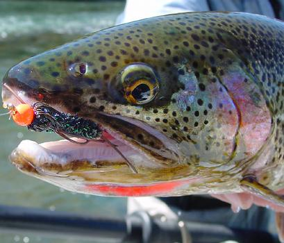 Best trout lure steelhead salmon and for Best salmon fishing lures