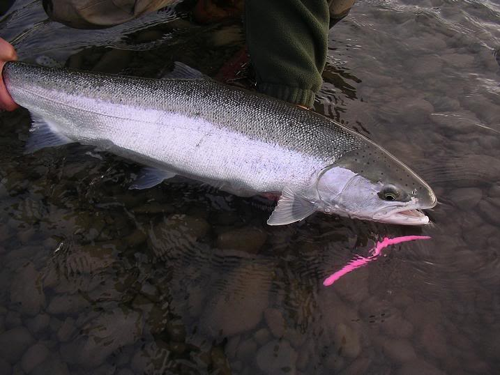 Pink worms for steelhead for Steelhead fishing rigs