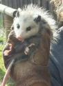 Cara_opossum.jpg
