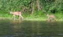 Cowtilla-2011-005-the-littlest-deer-ever.jpg