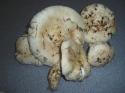 matshroom.JPG