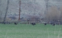 7141Wild_Turkeys.JPG